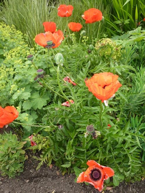 Poppies in Cockpit Garden of Richmond Castle